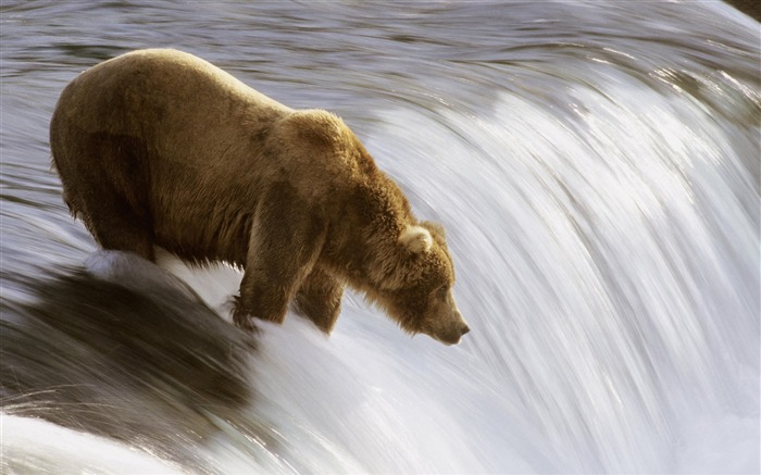 grizzly fishing in the brooks river-Nature wild animals Featured Wallpaper Views:5220