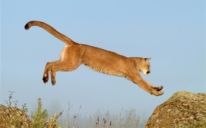 leaping cougar montana-Nature wild animals Featured Wallpaper Views:10036