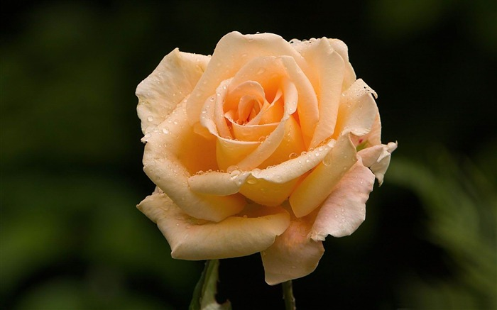 light orange rose-flowers photography wallpaper Views:5663