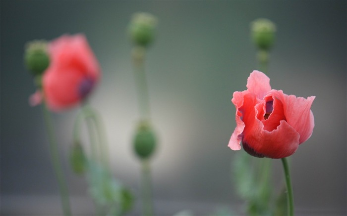 poppy-flowers photography wallpaper Views:5527