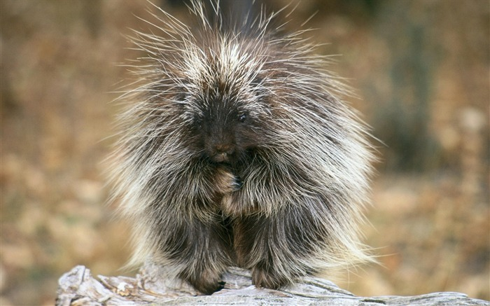 porcupine-Nature wild animals Featured Wallpaper Views:8055