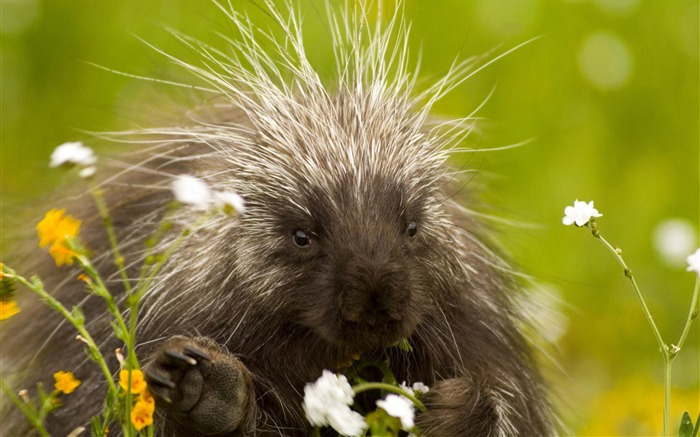 porcupine and wildflowers california-Nature wild animals Featured Wallpaper Views:6036