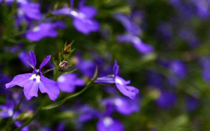purple flowers close up-flowers photography wallpaper Views:4925