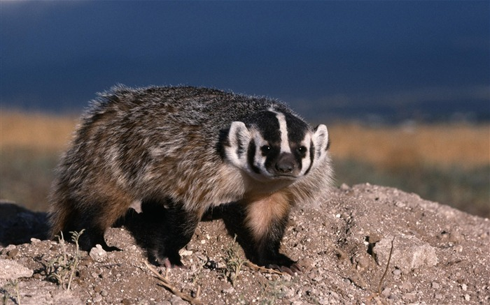 raccoons-Nature wild animals Featured Wallpaper Views:5036