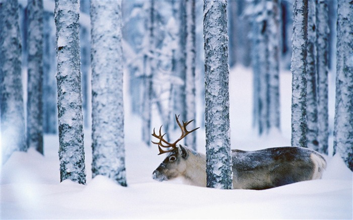reindeer svansele vasterbotten sweden-Nature wild animals Featured Wallpaper Views:7565
