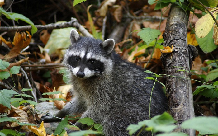 resting young raccoon-Nature wild animals Featured Wallpaper Views:5164