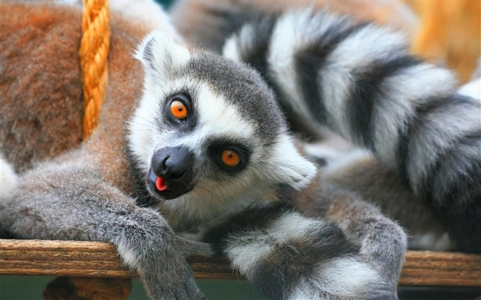 ring tailed lemurs-Nature wild animals Featured Wallpaper Views:5932
