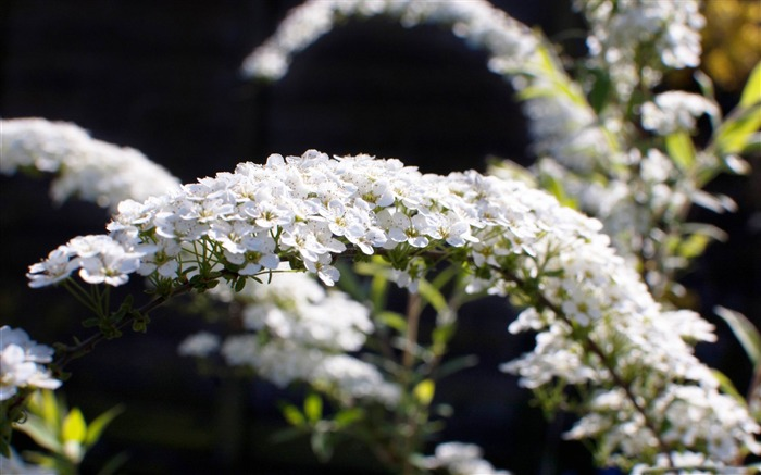 spiraea arguta-flowers photography wallpaper Views:3840