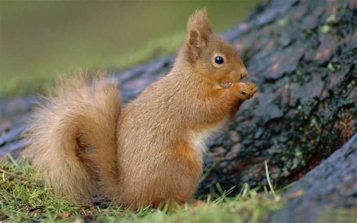 squirrel scotland-Nature wild animals Featured Wallpaper Views:9567