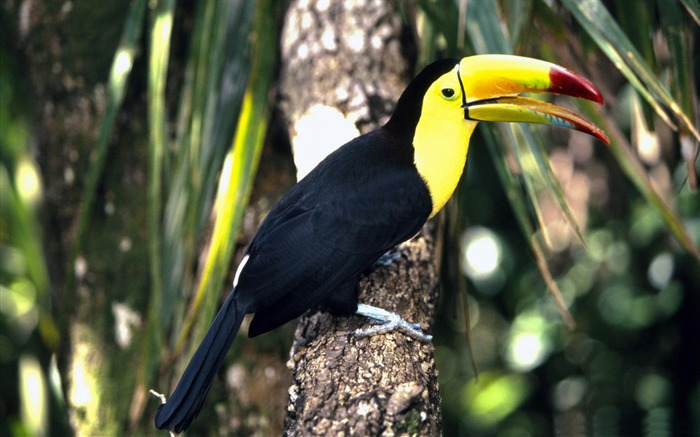 toco toucan perched in tree-Birds high-definition desktop wallpaper Views:4971