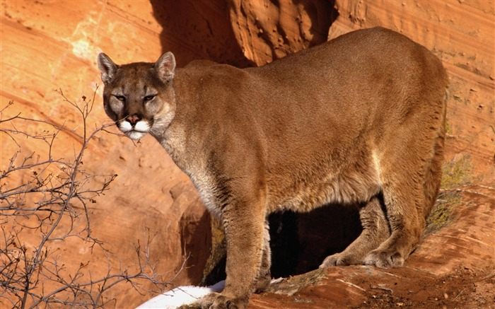 walk in the mountain cougar-Nature wild animals Featured Wallpaper Views:8581