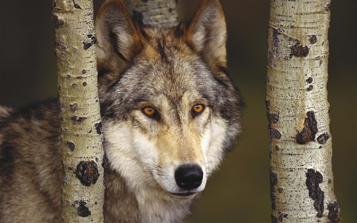 watcher in the woods grey wolf-Nature wild animals Featured Wallpaper Views:8972