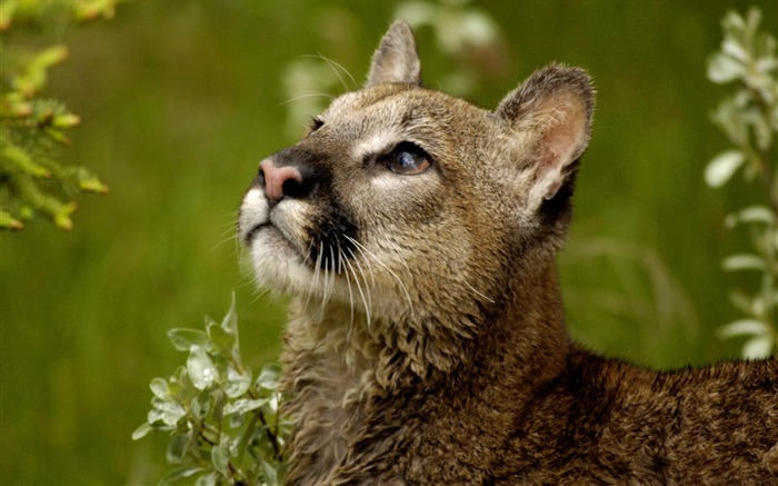 watchful cougar montana-Nature wild animals Featured Wallpaper Views:6253