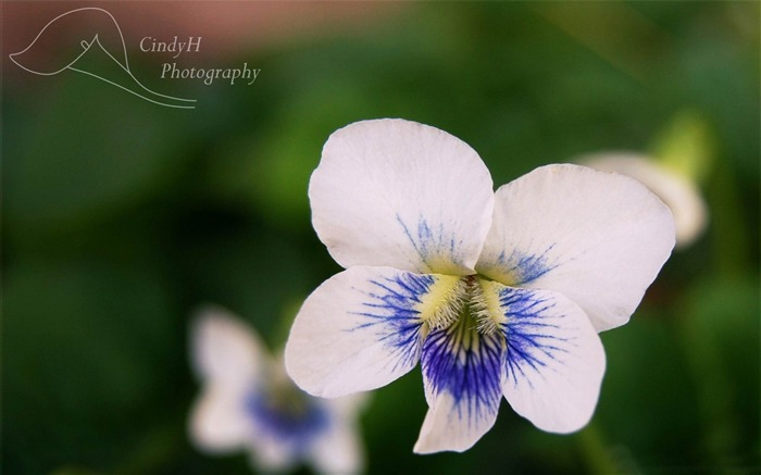 white violets-flowers photography wallpaper Views:4242