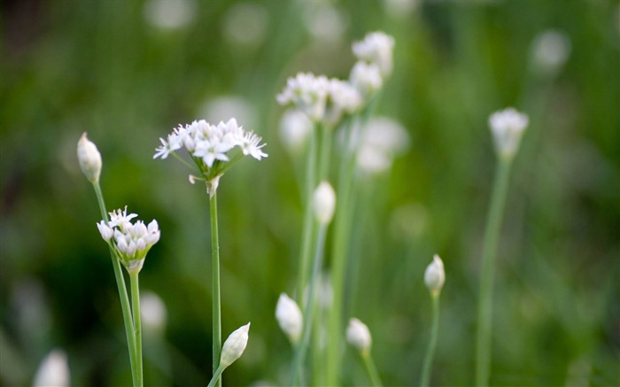white wildflowers-flowers photography wallpaper Views:2905