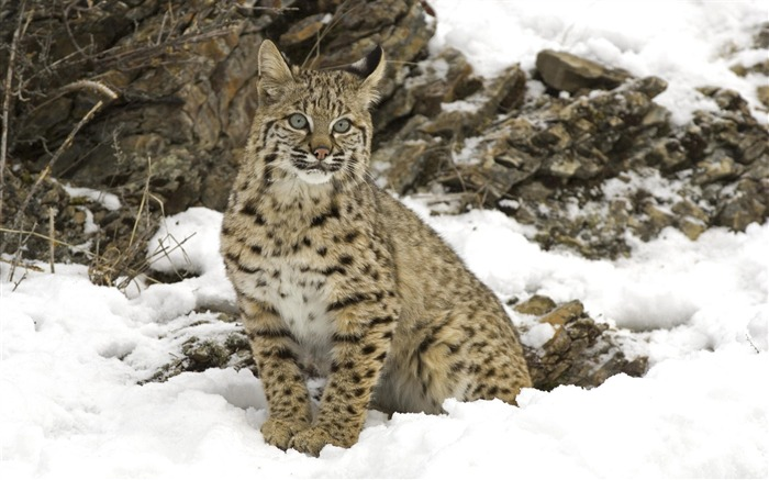 winter snow bobcat-Nature wild animals Featured Wallpaper Views:5461