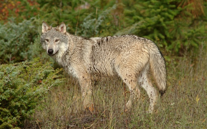 wolf montana-Nature wild animals Featured Wallpaper Views:5161