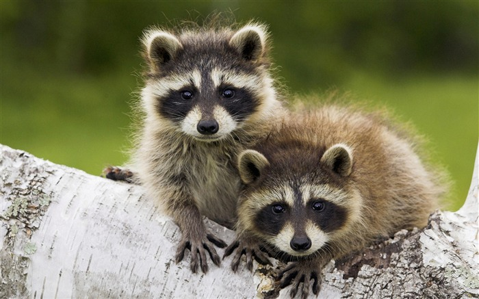 young raccoon-Nature wild animals Featured Wallpaper Views:7126