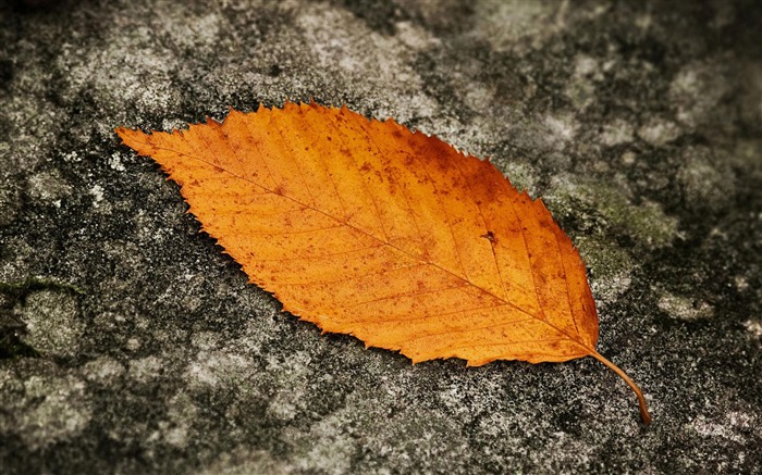 Autumn leaf-Plant macro photography wallpaper Views:3939
