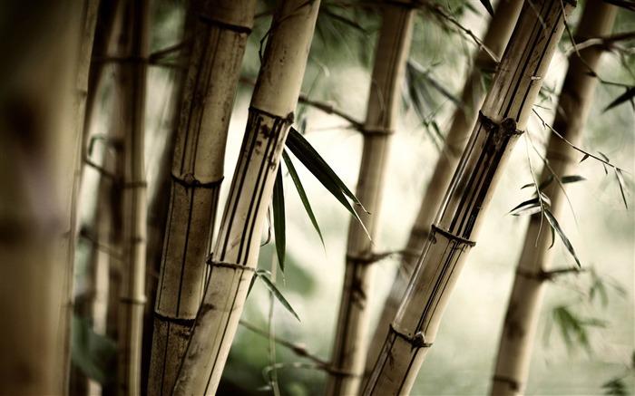 Bamboo stalks-forest landscape wallpaper Views:6810