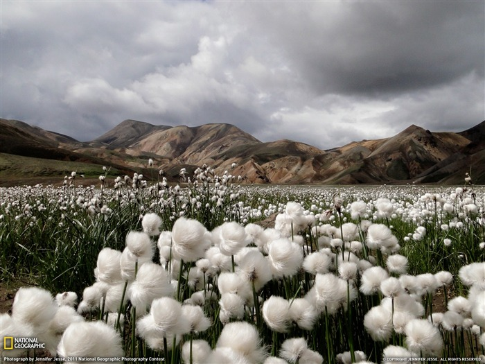 Cotton Grass Iceland-National Geographic 2011 Best Wallpapers Views:10081 Date:4/7/2012 11:15:44 AM