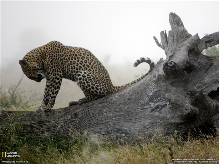 Leopard South Africa-National Geographic 2011 Best Wallpapers Views:11420 Date:4/7/2012 11:14:49 AM