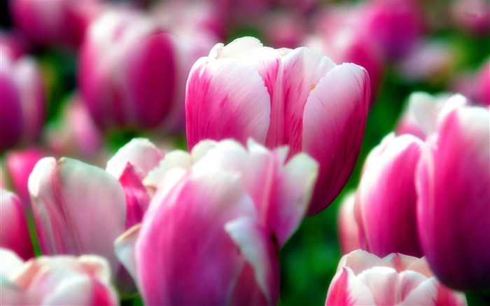 beauty tulips-Flowers Desktop wallpaper Views:6510 Date:4/12/2012 2:40:26 AM