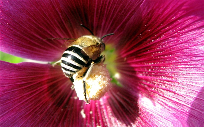 bee-all kinds of insects wallpaper Views:5216
