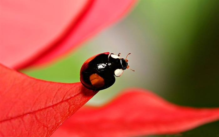 black beetles with red spots-all kinds of insects wallpaper Views:6207