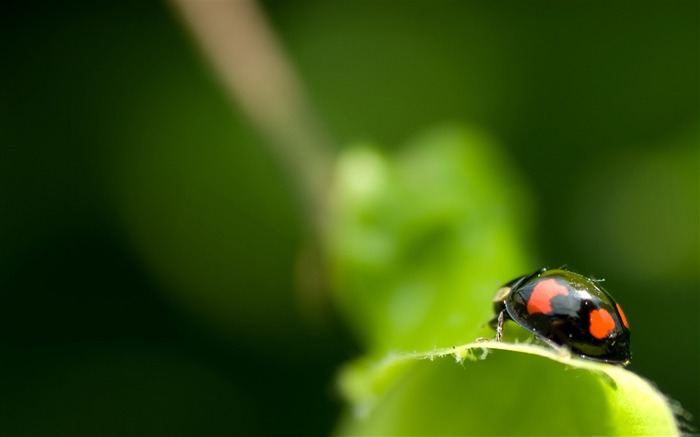 black ladybug macro-all kinds of insects wallpaper Views:4467