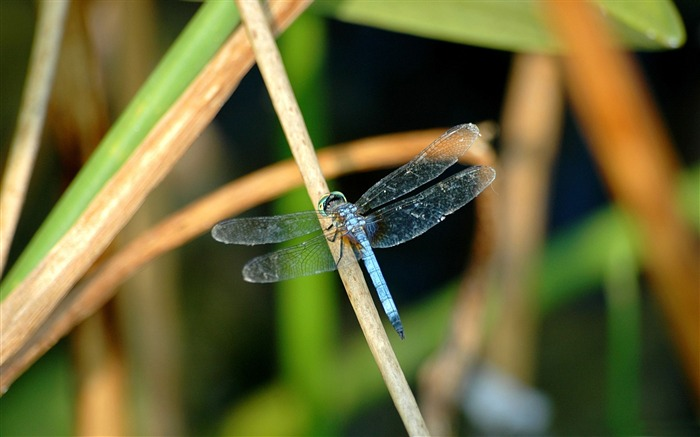 blue dragonfly-all kinds of insects wallpaper Views:5280