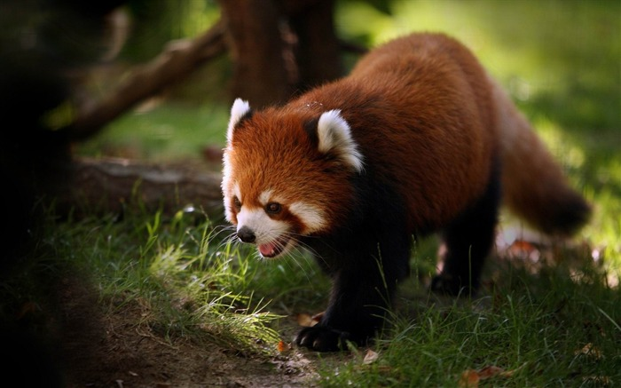 brilliant red panda-Wild Animal HD Wallpapers Views:12523