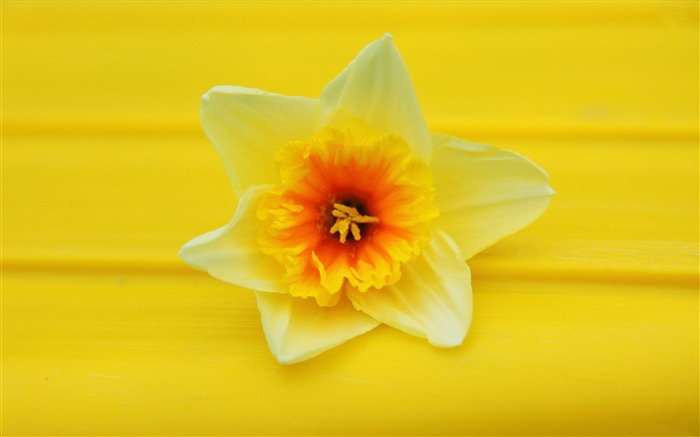 daffodil-Flowers Desktop wallpaper Views:6191 Date:4/12/2012 2:38:22 AM