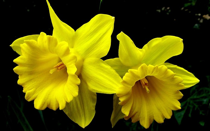 daffodil yellow-Flowers Desktop wallpaper Views:6459 Date:4/12/2012 2:38:39 AM