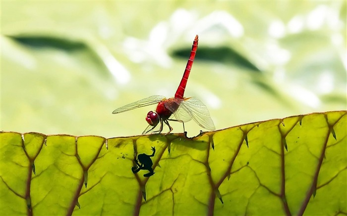 dragonfly-Plant macro photography wallpaper Views:4565
