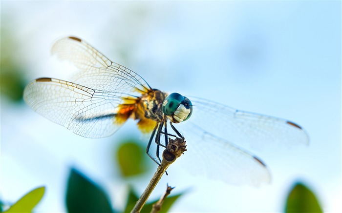 dragonfly-all kinds of insects wallpaper Views:5415