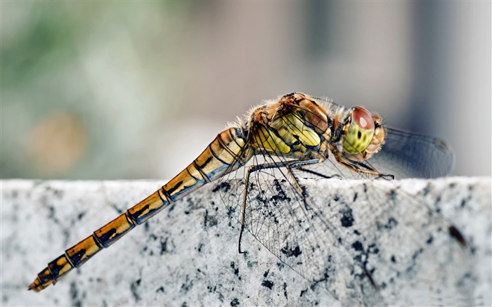dragonfly macro-all kinds of insects wallpaper Views:4855