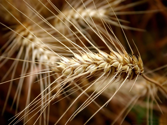 ear of wheat-Macro photography wallpaper Views:5852 Date:4/19/2012 11:24:27 PM