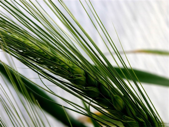 ear of wheat fresh-Macro photography wallpaper Views:5093 Date:4/19/2012 11:23:56 PM