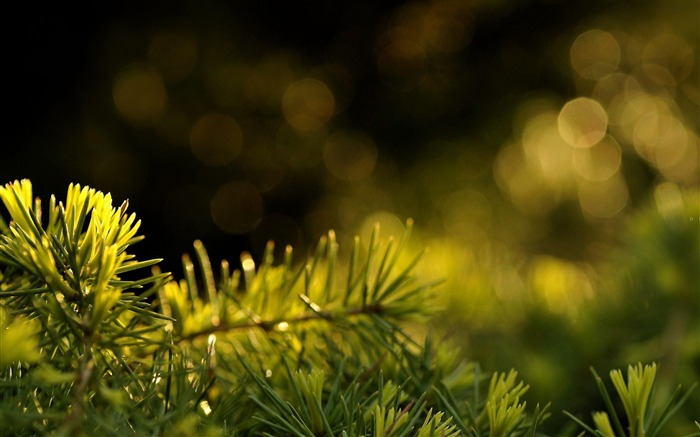 fresh fir needles-Plant macro photography wallpaper Views:4225