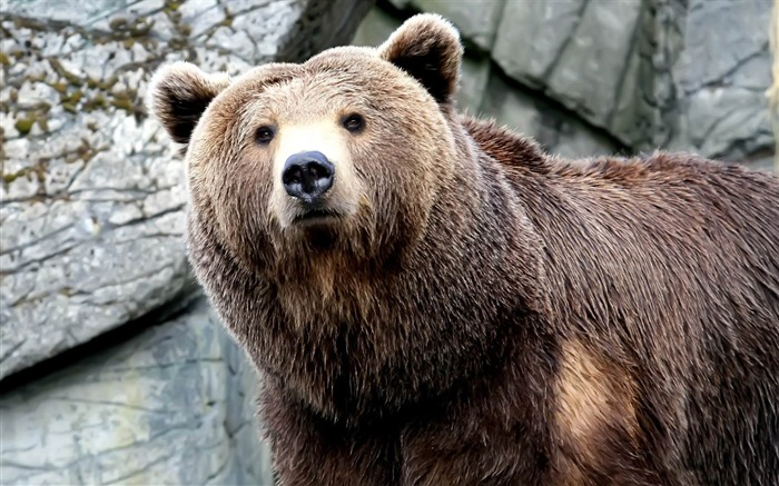 grizzly bear-Wild Animal HD Wallpapers Views:15252