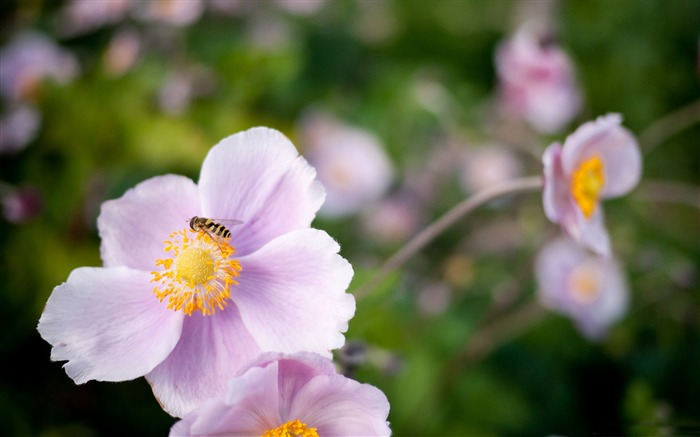 hoverfly on a pink flower-all kinds of insects wallpaper Views:4321