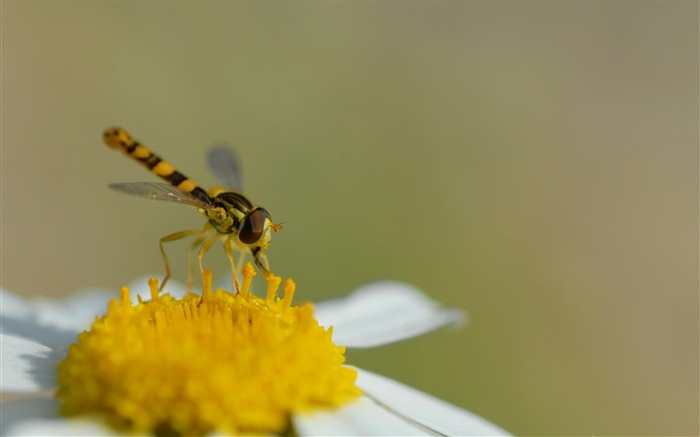 hoverfly sphaerophoria scripta-all kinds of insects wallpaper Views:4494