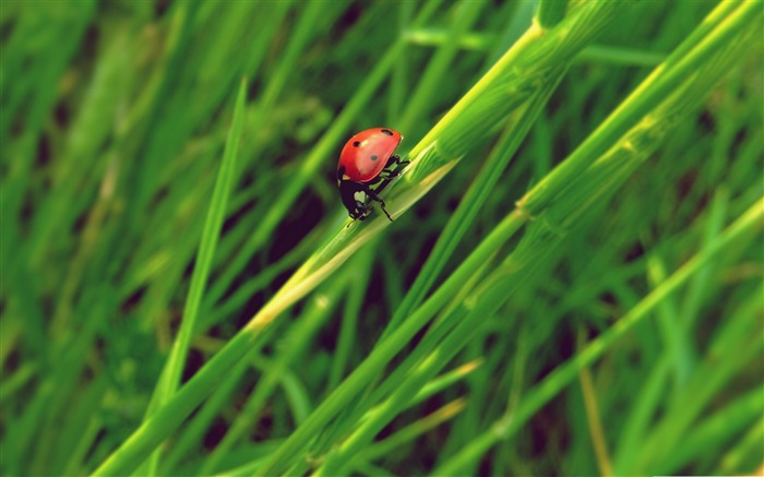 ladybug grass macro-all kinds of insects wallpaper Views:3599