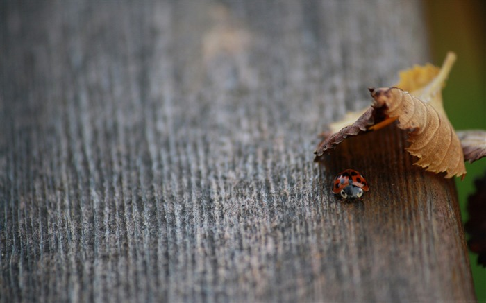 ladybug in hiding-Plant macro photography Wallpapers Views:4342