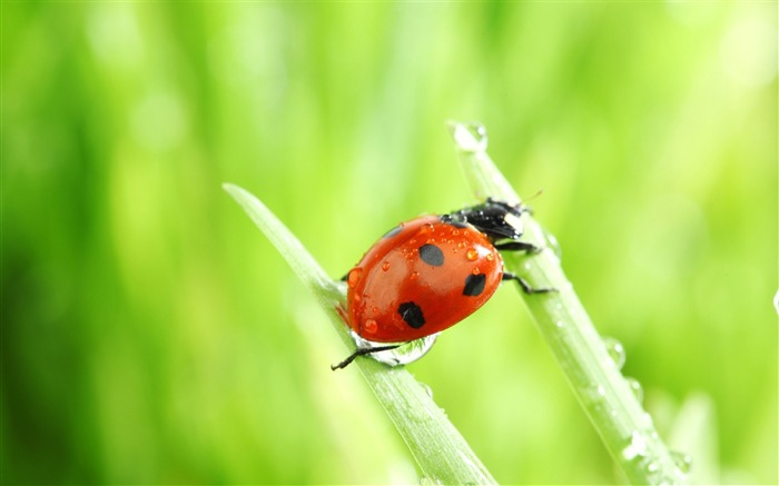 ladybug macro-all kinds of insects wallpaper Views:5514