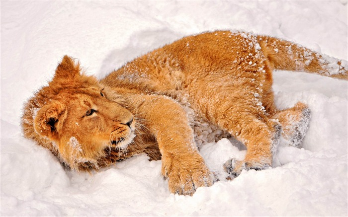 lion in snow-Wild Animal HD Wallpapers Views:11236