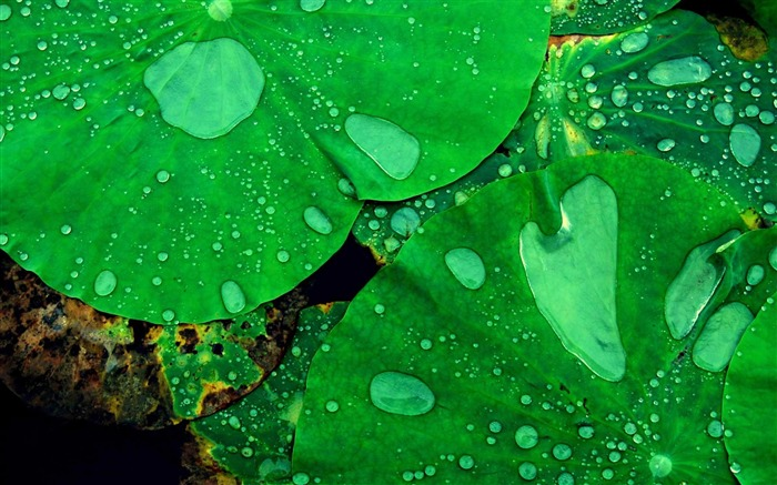 lotus leaf-Plant macro photography wallpaper Views:5056