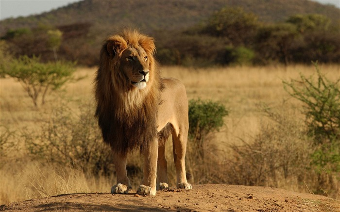 male lion-Wild Animal HD Wallpapers Views:58375