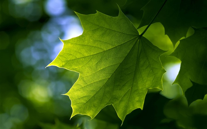 maple leaf-Plants photography HD wallpaper Views:7164 Date:4/15/2012 8:39:52 PM